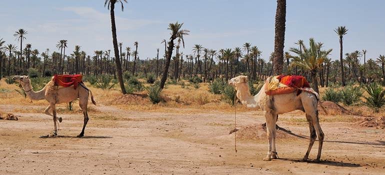 Excursion en dromadaire dans le désert marocain
